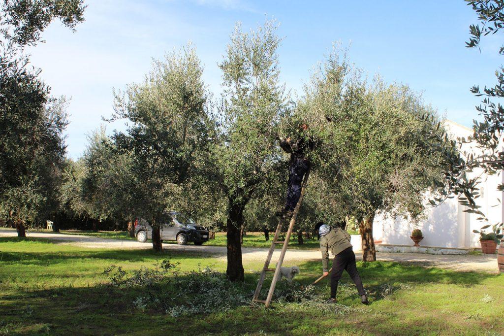 Potatura degli ulivi a Masseria Monache: si tagliano i rami secchi e i polloni.