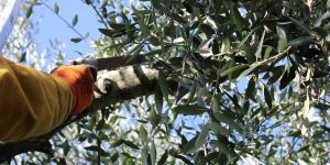 Olive tree pruning to Masseria Monache - Bed and Breakfast in Puglia